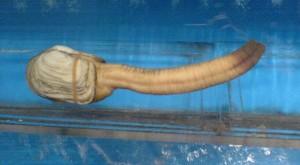 Geoduck: o molusco gigante em forma de pênis.