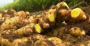 Gengibre: nova alternativa dos produtores